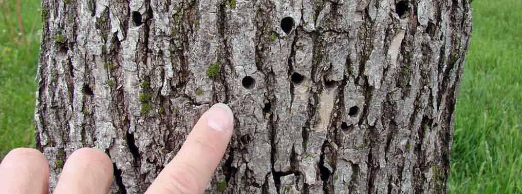 Фитосанитарный мониторинг деревьев